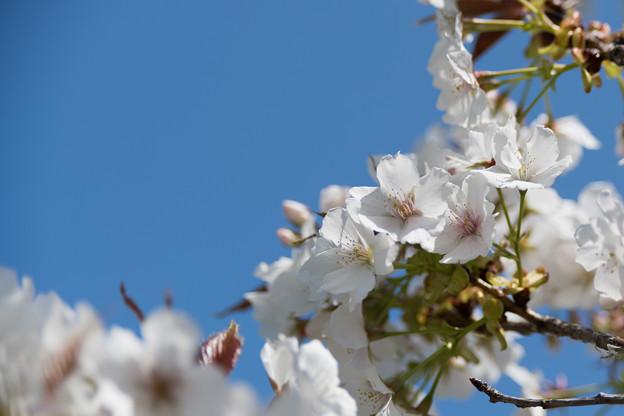 29花菜ガーデン【里桜:駿河台匂】2