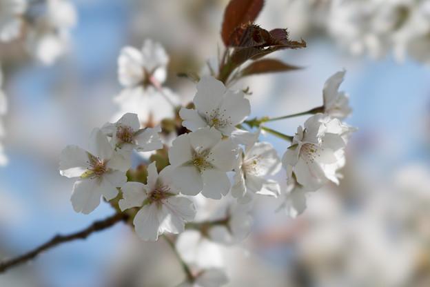 30花菜ガーデン【里桜:駿河台匂】3