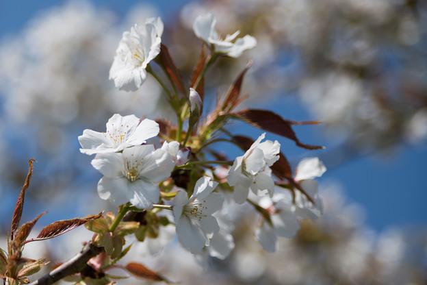 31花菜ガーデン【里桜:駿河台匂】4