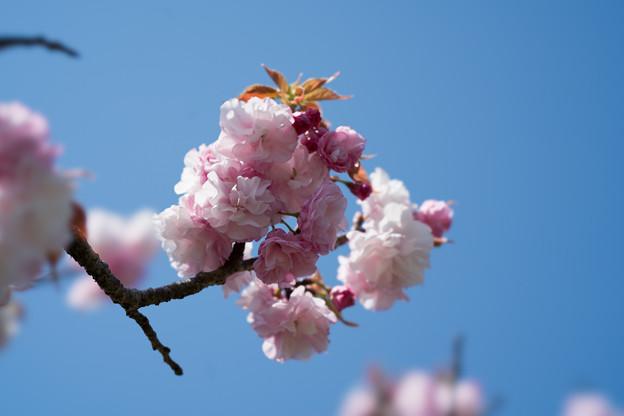 34花菜ガーデン【里桜:手毬】3