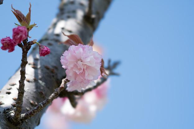 35花菜ガーデン【里桜:手毬】4