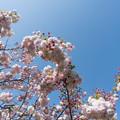 36花菜ガーデン【里桜:松月】1