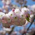 37花菜ガーデン【里桜:松月】2