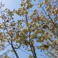 38花菜ガーデン【里桜:須磨浦普賢象】1