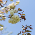 39花菜ガーデン【里桜:須磨浦普賢象】2