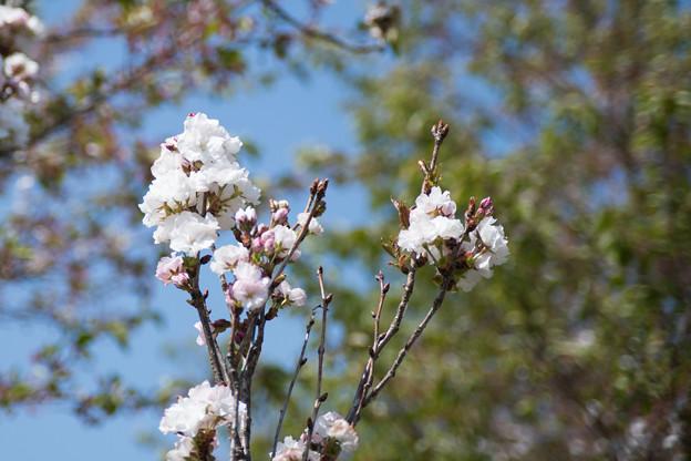 40花菜ガーデン【里桜:天の川】