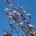 32花菜ガーデン【里桜:手毬】1