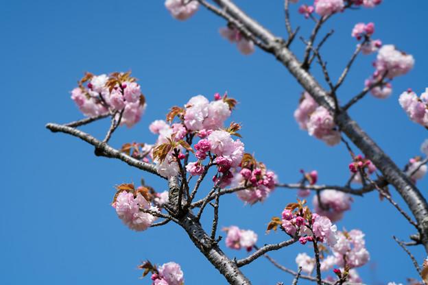 33花菜ガーデン【里桜:手毬】2