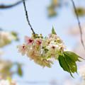 42花菜ガーデン【里桜:鬱金】