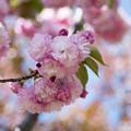 44花菜ガーデン【里桜:紅華】2
