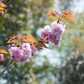 45花菜ガーデン【里桜:関山】