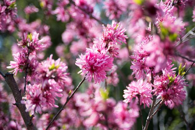 47花菜ガーデン【花桃:キクモモ】2