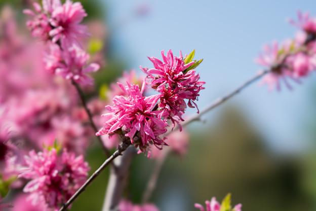 48花菜ガーデン【花桃:キクモモ】3