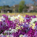 49花菜ガーデン【キンギョソウ】