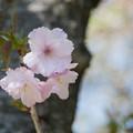 41花菜ガーデン【里桜:紅豊】