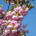 43花菜ガーデン【里桜:紅華】1