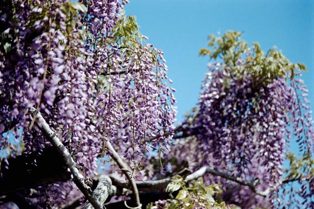 15大船フラワーセンター【藤の花:紫系】3銀塩NLP