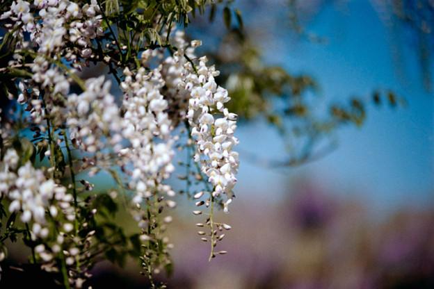 24大船フラワーセンター【藤の花:白系】2銀塩NLP