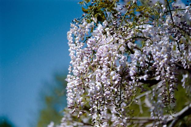 25大船フラワーセンター【藤の花:白系】3銀塩NLP