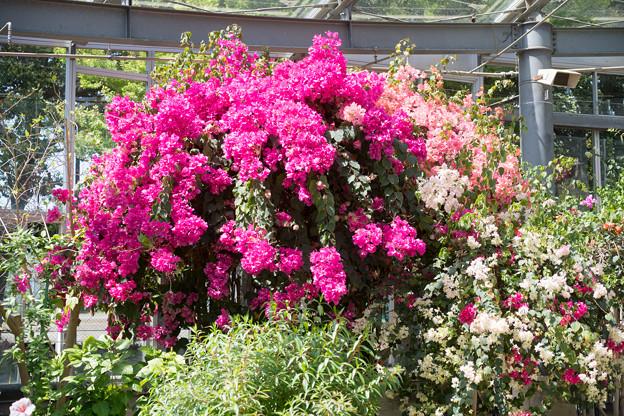 66大船フラワーセンター【温室の花:ブーゲンビリア】1