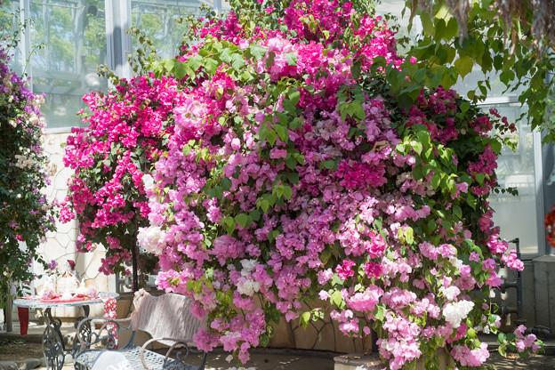 67大船フラワーセンター【温室の花:ブーゲンビリア】2