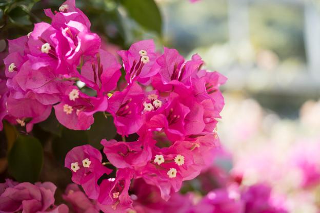69大船フラワーセンター【温室の花:ブーゲンビリア】4