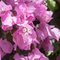 68大船フラワーセンター【温室の花:ブーゲンビリア】3