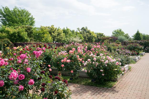 004花菜ガーデン【バラ園の眺め】4