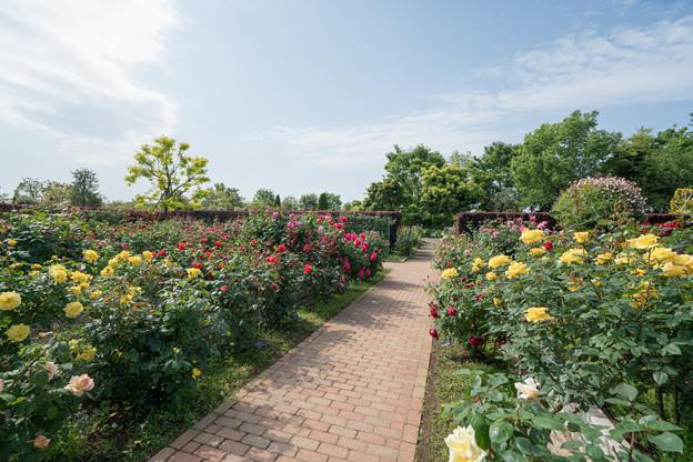 005花菜ガーデン【バラ園の眺め】5