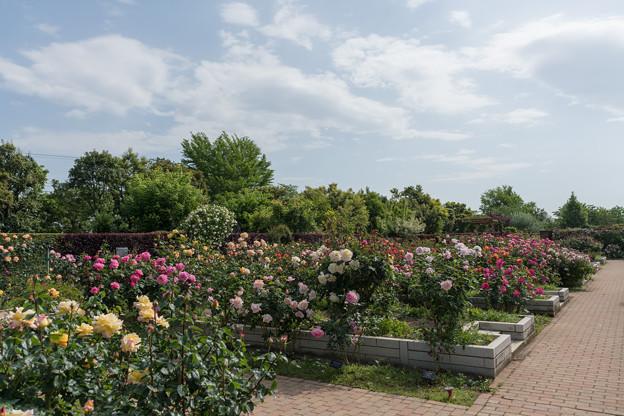 006花菜ガーデン【バラ園の眺め】6