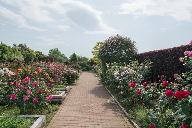 003花菜ガーデン【バラ園の眺め】3