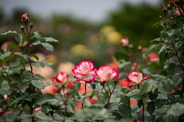 009花菜ガーデン【春バラ:ジュビレ・デュ・プリンス・ドゥ・モナコ】2
