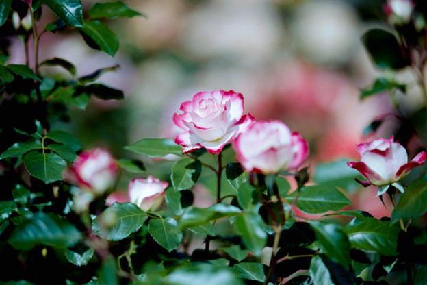 010花菜ガーデン【春バラ:ジュビレ・デュ・プリンス・ドゥ・モナコ】3銀塩NLP