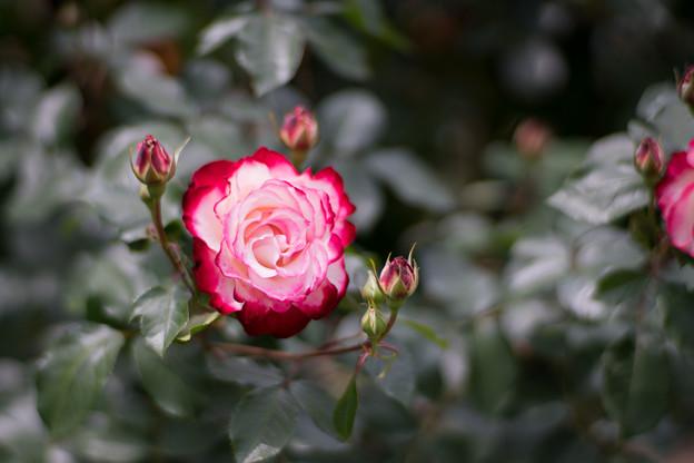 011花菜ガーデン【春バラ:ジュビレ・デュ・プリンス・ドゥ・モナコ】4