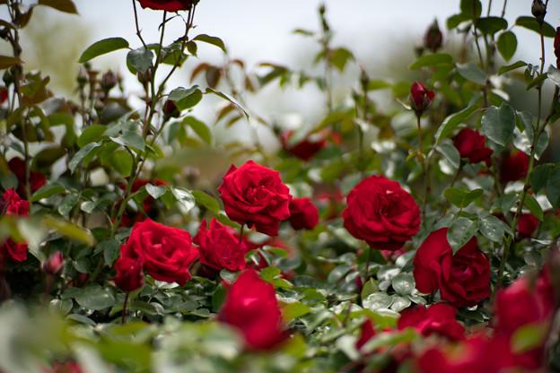 014花菜ガーデン【春バラ:ダブリン・ベイ】2