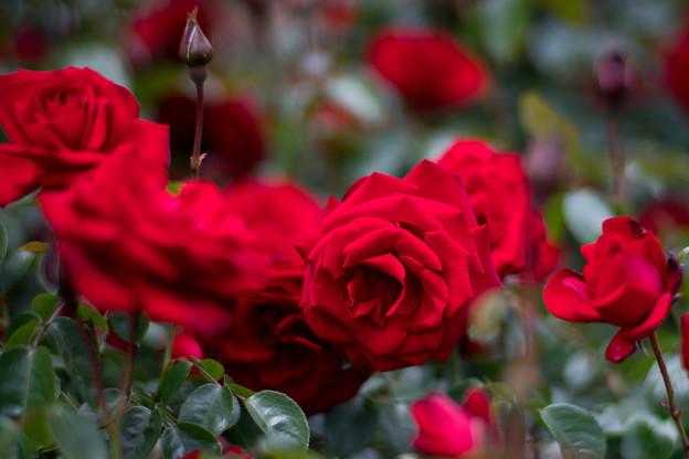 015花菜ガーデン【春バラ:ダブリン・ベイ】3