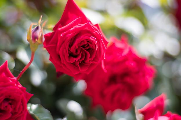 016花菜ガーデン【春バラ:ダブリン・ベイ】4