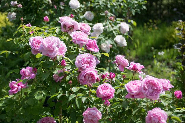 018花菜ガーデン【春バラ:メアリー・ローズ】1
