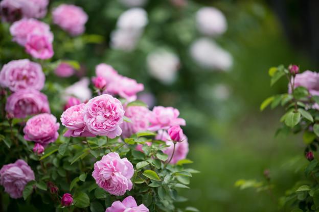 019花菜ガーデン【春バラ:メアリー・ローズ】2