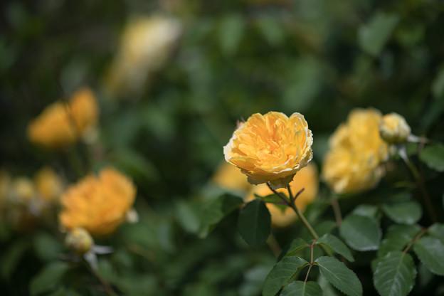 025花菜ガーデン【春バラ:モリニュー】3