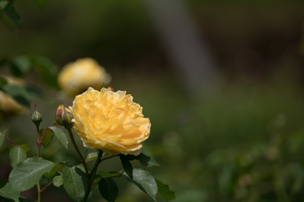 026花菜ガーデン【春バラ:モリニュー】4