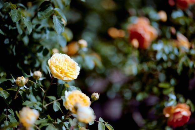 027花菜ガーデン【春バラ:モリニュー】5銀塩NLP
