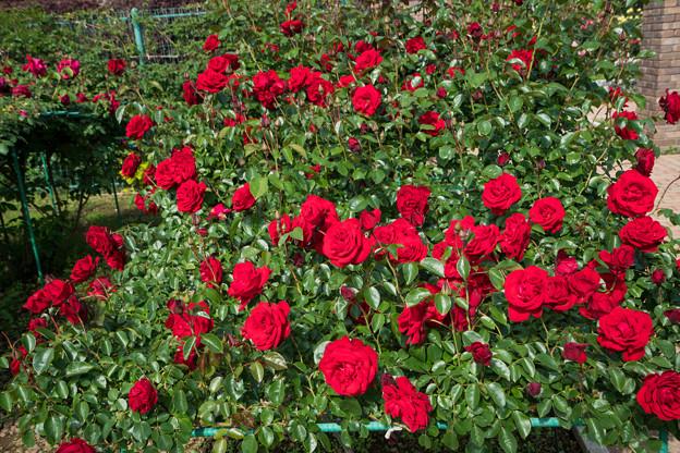 013花菜ガーデン【春バラ:ダブリン・ベイ】1
