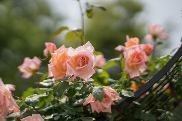 029花菜ガーデン【春バラ:ミッシェル・メイアン】2