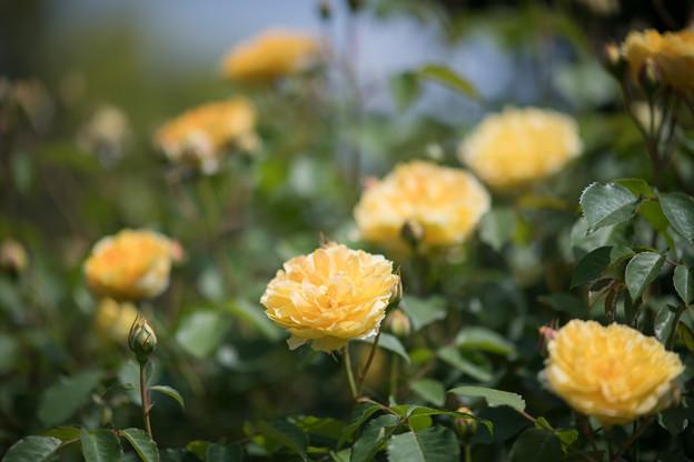 024花菜ガーデン【春バラ:モリニュー】2