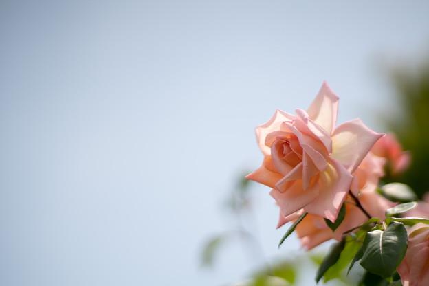 030花菜ガーデン【春バラ:ミッシェル・メイアン】3