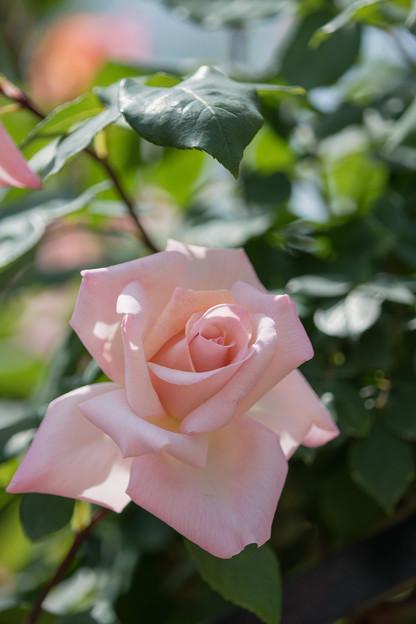 031花菜ガーデン【春バラ:ミッシェル・メイアン】4