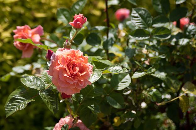 035花菜ガーデン【春バラ:花菜ローズ】3
