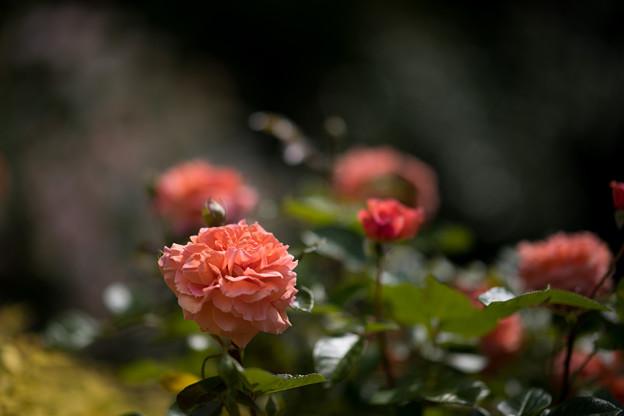 036花菜ガーデン【春バラ:花菜ローズ】4