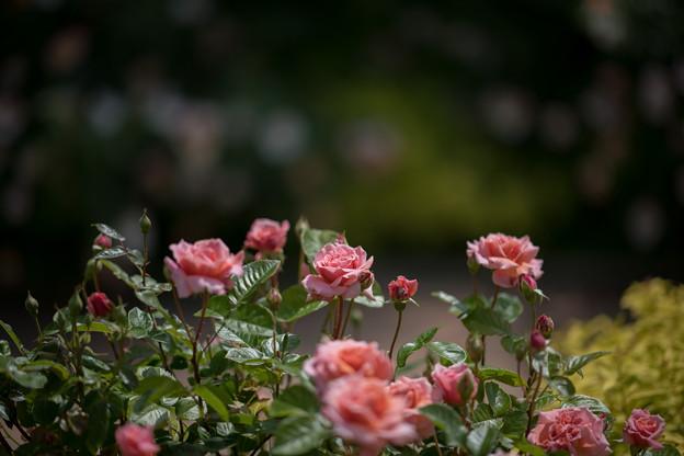 034花菜ガーデン【春バラ:花菜ローズ】2